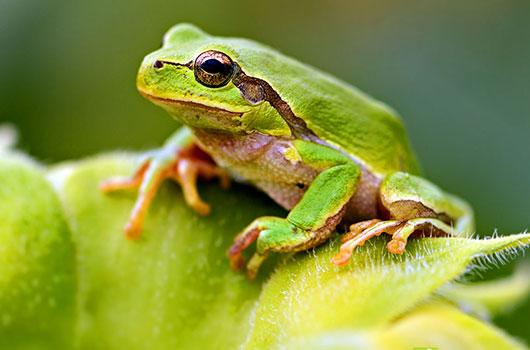 Grenouilles reptile - L eau du robinet c est pour les grenouilles ...