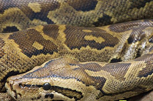 Python / Reptile-s.com